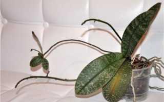 Как вырастить корни у детки орхидеи