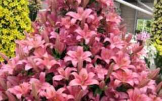 Кустовые лилии