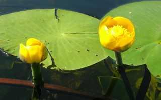 Желтая кувшинка описание