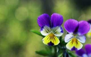 Фиалка трехцветная лечебные свойства и противопоказания