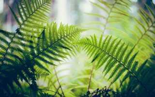 Папоротник лесной в саду посадка и уход
