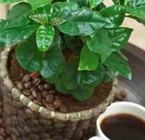 Как цветет кофе