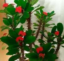 Эуфорбия цветок