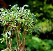 Фикус с мелкими листьями