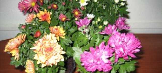 Тля на хризантеме как избавиться