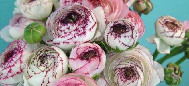 Персидский лютик выращивание из семян