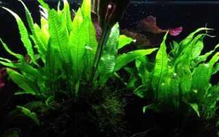 Таиландский папоротник аквариумное растение