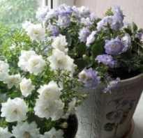 Как называется комнатный цветок похожий на колокольчик
