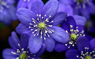 Синие маленькие цветочки название