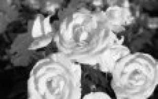 Морозостойкие сорта роз флорибунда