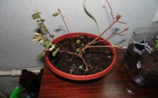 Почему у азалии опадают листья