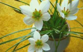 Цветок выскочка как по другому называется