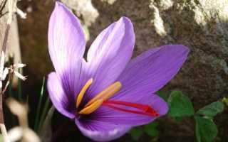 Цветы шафраны