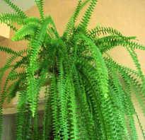 Растение похожее на папоротник
