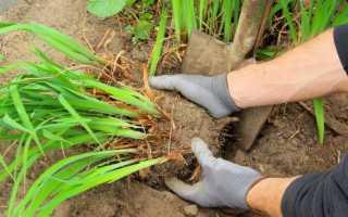 Когда сажать лилейники осенью или весной