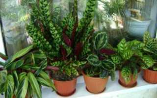 Распространенные комнатные растения