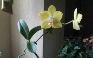 Пересадка детки орхидеи в домашних условиях