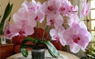 Мультифлора орхидея что это такое