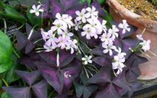 Мадам баттерфляй цветок