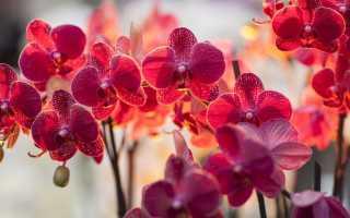 Фаленопсис красный