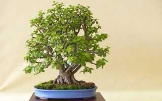 Формирование денежного дерева в домашних условиях