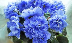 Фиалка голубой дунай