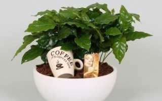 Кофейное дерево комнатное