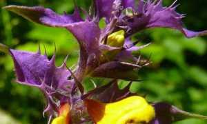 Растение иван да марья лечебные свойства