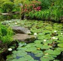 Как называется цветок который растет на воде
