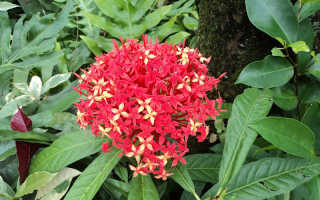 Пентас цветок выращивание