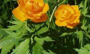 Купавка цветок