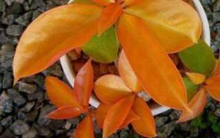 Кактус листовой