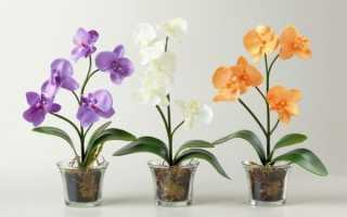 Можно ли пересаживать цветущую орхидею фаленопсис