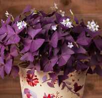 Баттерфляй цветок