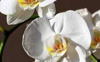 Пересадка орхидеи во время цветения