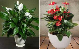 Цветок мужское и женское счастье