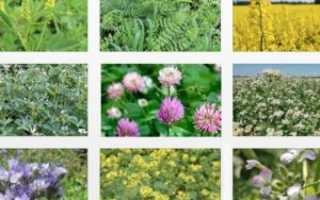 Как правильно использовать сидераты на садовом участке