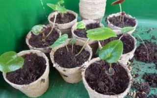 Цикламен размножение листом