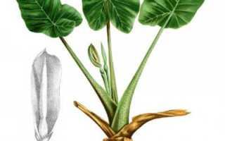 Алоказия цветок лечебные свойства