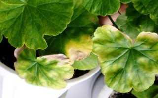 Почему у герани сохнут листья по краям