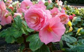 Бегония многолетняя садовая