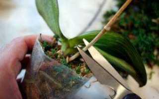 Нужно ли обрезать у орхидеи отцветшие стебли