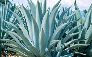 Голубой кактус