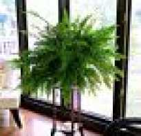 Как вырастить папоротник в домашних условиях