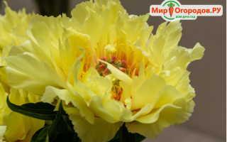 Гибрид розы и пиона