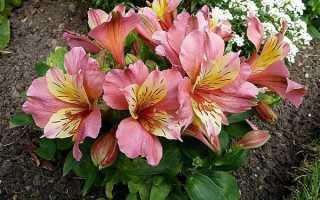 Аустерия цветы