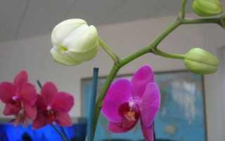 У орхидеи вянут цветы что делать