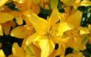 Лилии от гибриды зимостойкость