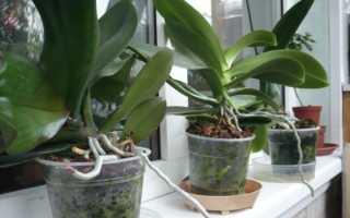 Как правильно посадить орхидею в горшок