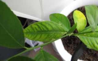 Желтые пятна на листьях лимона